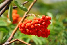 Rowan berries, Mountain ash Sorbus royalty free stock photos