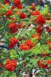 Rowan berries, Mountain ash (Sorbus). Tree with ripe berry Royalty Free Stock Photo