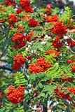 Rowan berries, Mountain ash (Sorbus) Royalty Free Stock Photo