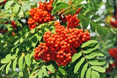Rowan berries, Mountain ash (Sorbus). Tree with ripe berry Royalty Free Stock Image