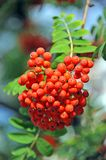 Rowan berries, Mountain ash (Sorbus) Stock Photos