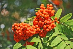 Rowan berries, Mountain ash (Sorbus). Tree with ripe berry Stock Image