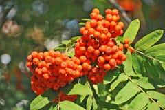 Rowan berries, Mountain ash (Sorbus) Stock Image