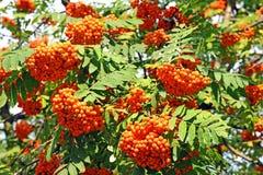 Rowan berries, Mountain ash (Sorbus) Stock Photo