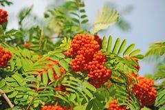 Rowan berries, Mountain ash (Sorbus) Stock Photography