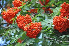 Rowan berries, Mountain ash (Sorbus) Royalty Free Stock Image