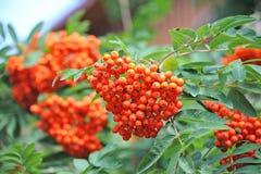 Rowan berries, Mountain ash (Sorbus) Royalty Free Stock Image