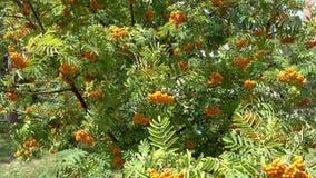 Rowan berries, Mountain ash Sorbus tree with ripe berry stock video footage