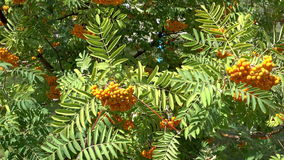 Rowan berries, Mountain ash Sorbus tree with ripe berry stock footage