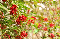 Rowan berries, Mountain ash (Sorbus) tree with ripe berry. Rowan-tree lush bunches of red mountain ash on the branches of a tree. shallow depth of field Royalty Free Stock Image