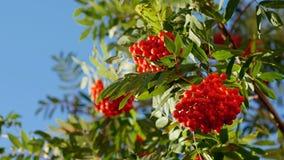 Rowan berries, Mountain ash tree with ripe berry stock video footage