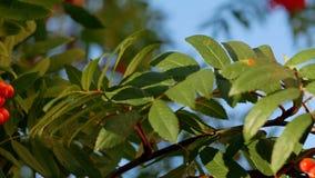 Rowan berries, Mountain ash tree with ripe berry stock video