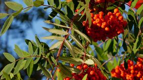 Rowan berries, Mountain ash tree with ripe berry stock footage