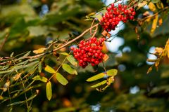 Red ripe Rowan berries against sun rays, Mountain ash tree with ripe berry.Branch of ash berry.Rowan branches covered. Rowan berries, Mountain ash tree with ripe stock images