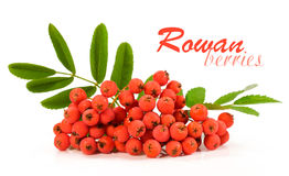 Rowan berries over white Royalty Free Stock Photography