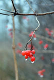 Rowan berries with rain drops close-up in foggy autumn day. Royalty Free Stock Photos