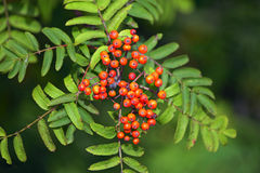 Rowan berries. Royalty Free Stock Photos