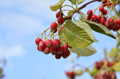 Rowan berries. Red rowan berry in blue sky background Stock Images