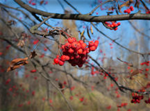 Rowan berries. Red mountain ash, autumn, frosty morning stock image