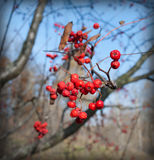 Rowan berries. Red mountain ash, autumn, frosty morning royalty free stock image