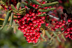 Rowan berries Royalty Free Stock Photography