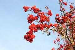 Rowan berries Royalty Free Stock Photos