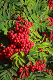 Rowan berries ripening on tree Stock Images
