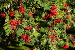 Rowan berries ripening on tree Stock Image