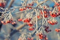 Rowan berries in the snow Stock Photos