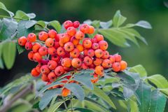 Rowan berries, Sorbus aucuparia. Cluster of red mountain ash on. A tree among the green leaves. Edible berries loved by birds stock images