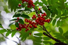 Rowan berries, Sorbus aucuparia, tree also called rowan and moun. Tain ash stock photo