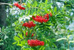 Rowan berries, Sorbus aucuparia, tree also called rowan and mountain ash.  Stock Images