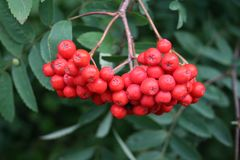 Rowan berries sorbus. Red rowan berries in autumn, berry of sorbus, intense red berries on a tree royalty free stock photos