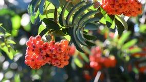 Rowan berries in summer stock footage