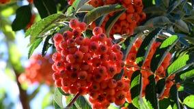 Rowan berries in summer stock video
