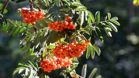 Rowan berries in summer sunset stock video