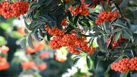 Rowan berries in summer sunset stock footage