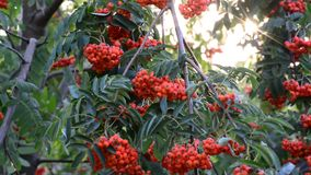 Rowan berries in summer sunset stock video footage