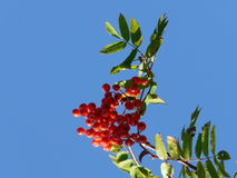 Rowan berries on a sunny day Royalty Free Stock Images