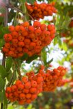 Rowan berries on a tree Stock Photo