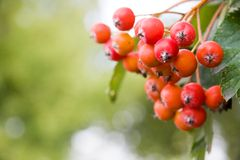 Rowan berries on a tree Stock Photography