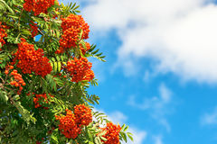 Rowan Berries on a tree with blue sky Royalty Free Stock Photo