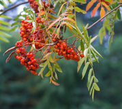 Rowan berries on a tree Stock Images