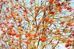 Rowan berries on the tree Royalty Free Stock Photography