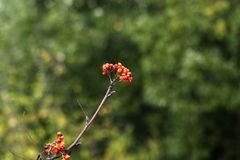 Rowan berries. Rowan tree, Close-up of bright rowan berries on a tree on a sunny day Royalty Free Stock Photos