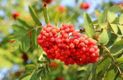Rowan berries on a tree Royalty Free Stock Photos