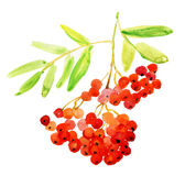 Rowan Berries, Twig. Watercolor Painting. Royalty Free Stock Photos