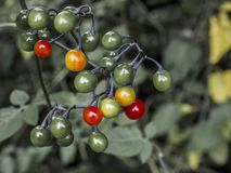 Rowan Berries fotografia stock libera da diritti