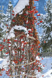 Rowan Berries under Snow Royalty Free Stock Photography