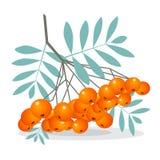 Rowan Berries Vector Illustration Fotografia Stock